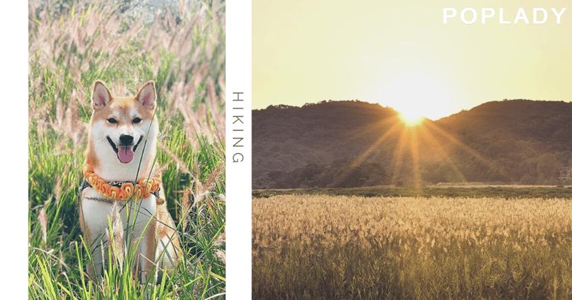 【芒草、蘆葦、稻田季節】不用行大東山,也可輕鬆影同類打卡景!拍出浪漫的秋日美景