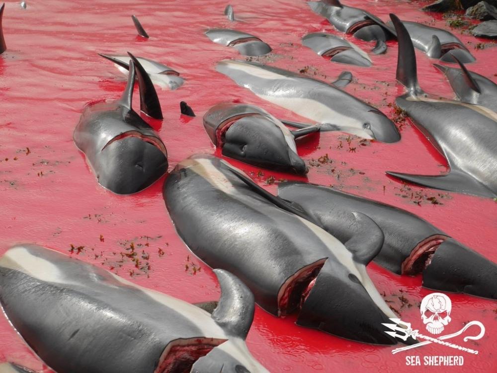 Sea Shepherd Faroe Islands Campaign