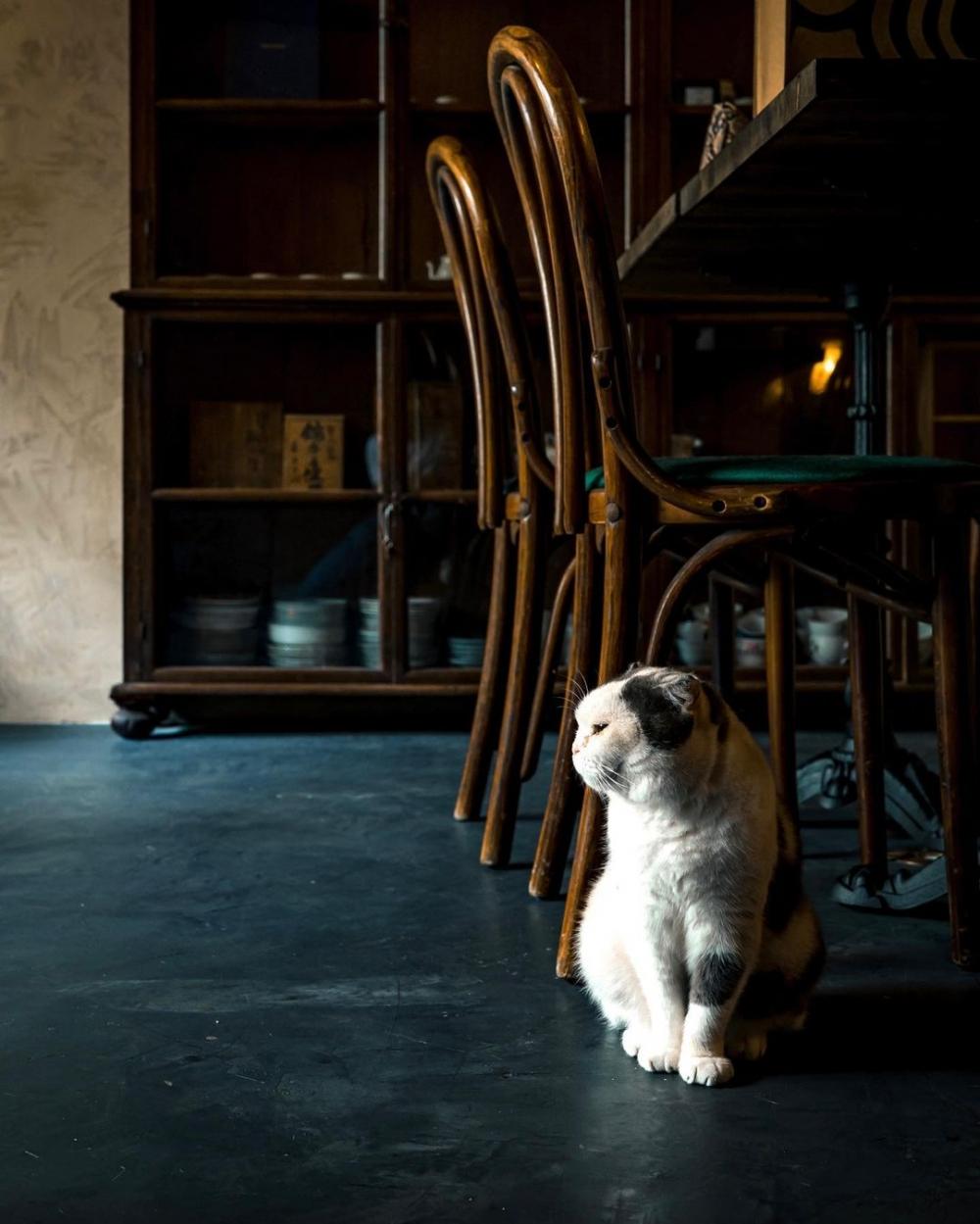 店內的貓店主茶茶悠閒愜意的在店內漫步
